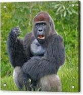 1- Silverback Western Lowland Gorilla  Acrylic Print