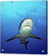 Silvertip Shark Acrylic Print
