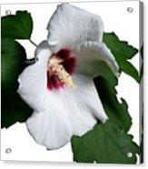 Single Rose Sharron Flower Acrylic Print