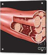 Single Muscle Fiber Structure Acrylic Print