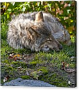 Sleeping Timber Wolf Acrylic Print