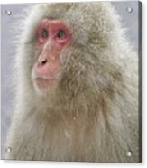 Snow-dusted Monkey Acrylic Print