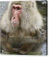 Snow Monkey Bath Acrylic Print