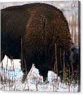 Snowy Bison  Acrylic Print