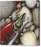 Sockeye Salmon Acrylic Print by JQ Licensing