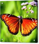 Soldier Butterfly Acrylic Print