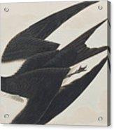 Sooty Tern Acrylic Print