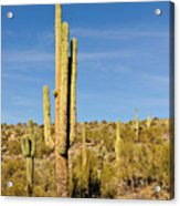South Mountain Cactus Acrylic Print
