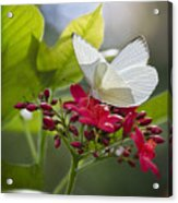 Southern White Butterfly  Acrylic Print
