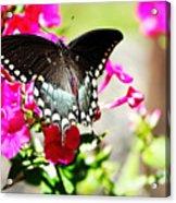 Spicebush Swallowtail Acrylic Print