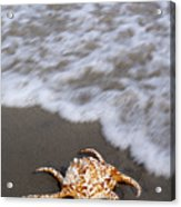 Spider Conch Shell Acrylic Print