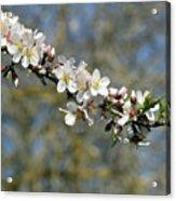 Spring Blooming. Acrylic Print
