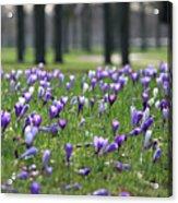 Spring Flowering Crocuses Acrylic Print