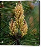Spring Pine Tree Acrylic Print