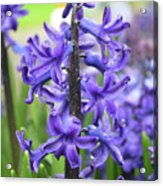 Spring Time With Blooming Hyacinth Flowers In A Garden Acrylic Print