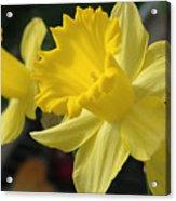 Spring Yellow Acrylic Print