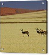 Springbok At Sossusvlei Acrylic Print