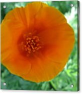 Springs First Poppy Acrylic Print