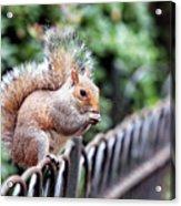 Squirrel Acrylic Print