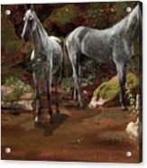 Study Of Wild Horses Acrylic Print