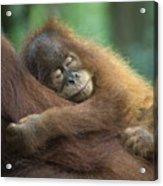 Sumatran Orangutan Pongo Abelii Two Acrylic Print
