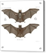 Sundevall's Roundleaf Bat Acrylic Print