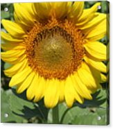 Sunflower 09 Acrylic Print