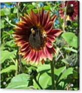 Sunflower 133 Acrylic Print