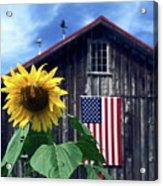 Sunflower By Barn Acrylic Print