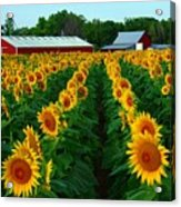 Sunflower Field #4 Acrylic Print