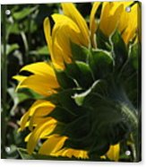 Sunflower Series 09 Acrylic Print