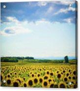 Sunflowers Acrylic Print by Kirstin Mckee