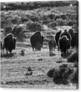 Sunset Bison Stroll Black And White Acrylic Print