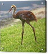 Sweet Juvenile Sandhill Crane Acrylic Print