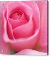 Sweet Rosiness Acrylic Print