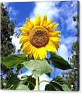 Tall And Sunny Acrylic Print