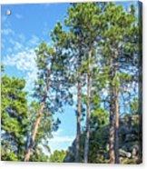 Tall Pine Trees Acrylic Print