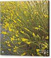 Tarweed Flowering Acrylic Print