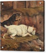 Terriers Ratting Acrylic Print