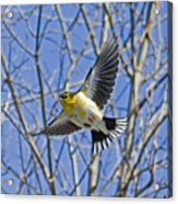 The American Goldfinch In-flight, Acrylic Print