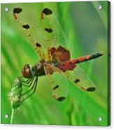 The Dragonfly Acrylic Print