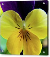 The Face Of A Pansy Acrylic Print