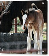 The Flying Colt With The Big White Feet Acrylic Print