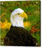 The Great Bald Eagle Acrylic Print