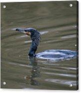 The Great Cormorant Acrylic Print