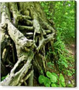 The Roots  Acrylic Print