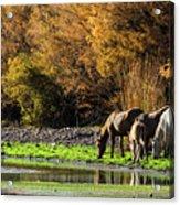 The Salt River Wild Horses  Acrylic Print