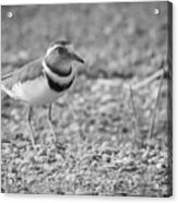 Three Banded Plover Acrylic Print
