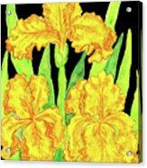 Three Yellow Irises, Painting Acrylic Print