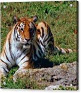 Tiger II Acrylic Print